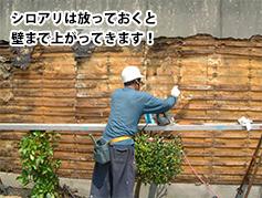 シロアリは放っておくと壁まで上がってきます!